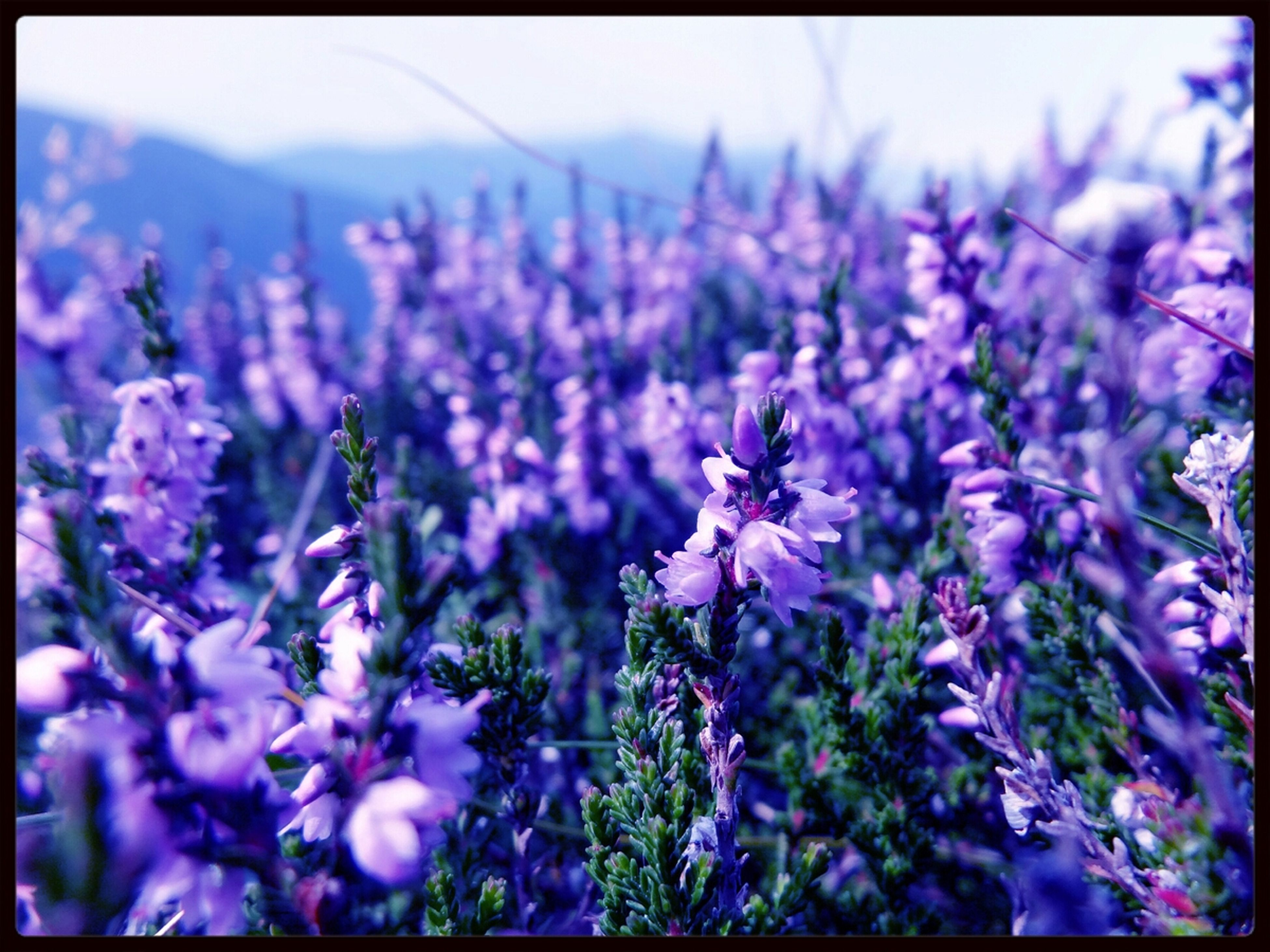 flower, freshness, fragility, transfer print, growth, purple, beauty in nature, petal, auto post production filter, focus on foreground, nature, flower head, blooming, close-up, plant, in bloom, selective focus, blossom, stem, outdoors