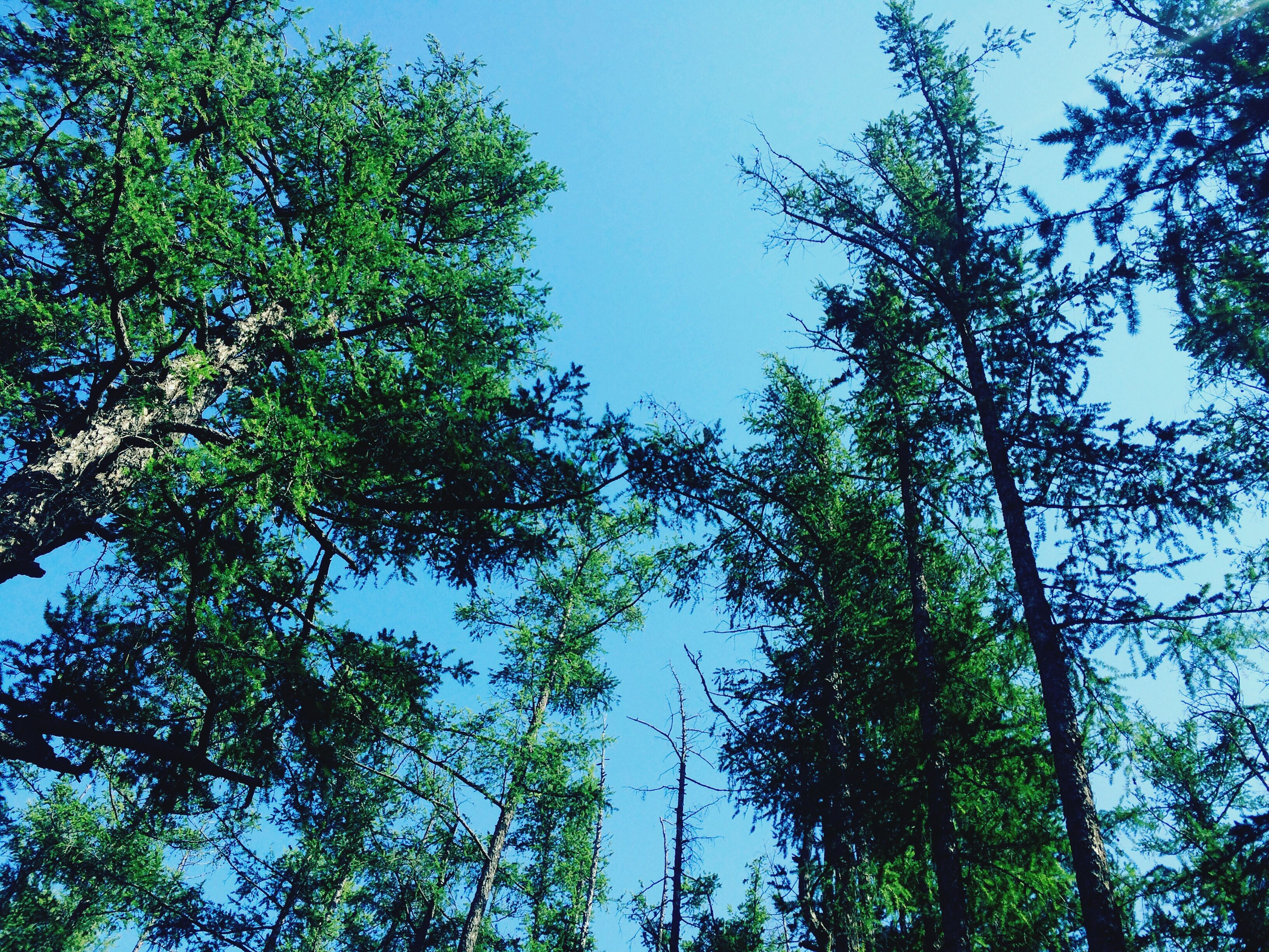 tree, low angle view, growth, tranquility, nature, blue, sky, green color, beauty in nature, day, tree trunk, outdoors, no people, tranquil scene, scenics, lush foliage, tall - high, treetop, high section, green, idyllic, non-urban scene, backgrounds, sunny