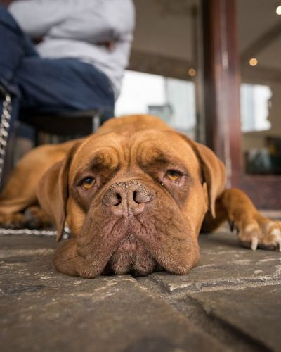 Dog Pets One Animal Mammal Domestic Animals Animal Themes Lying Down Indoors  Relaxation Close-up One Person Sitting Day Portrait People