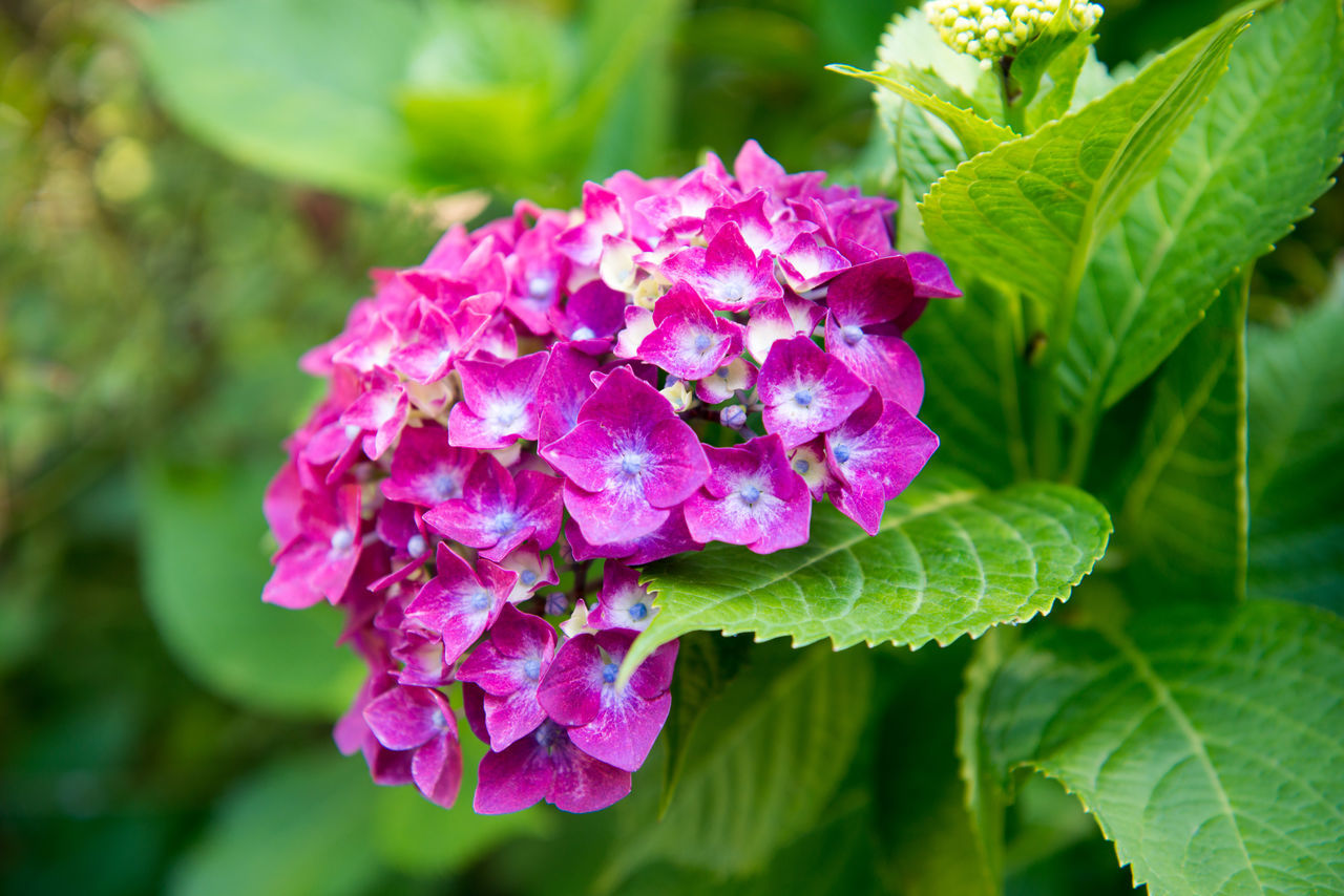 flower, beauty in nature, fragility, nature, growth, freshness, petal, leaf, plant, pink color, outdoors, day, green color, close-up, flower head, blooming, purple, no people, lantana camara