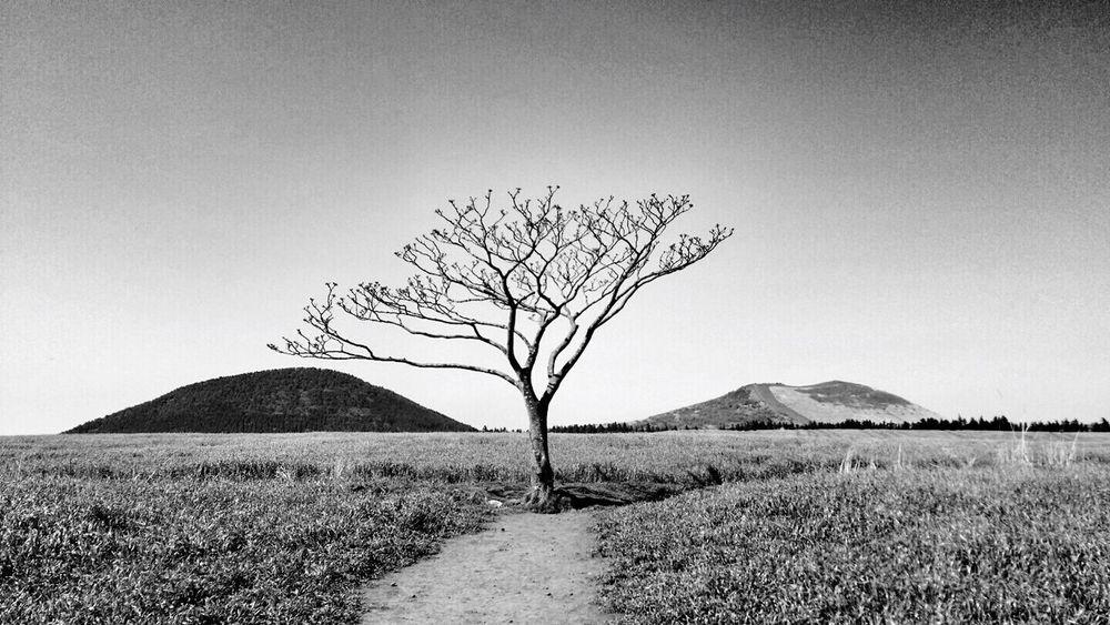 Jeju JEJU ISLAND  Jejuisland Tree 왕따나무 Lonely Alone Outcast