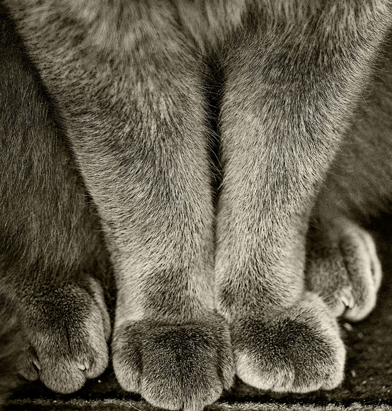 Animal Body Part Animal Leg Animal Themes Blackandwhite Cat Cats Cats Legs Cats Paws Close-up Day Domestic Animals Domestic Cat Feline Indoors  Mammal No People One Animal Paw Pets Toned Black And White