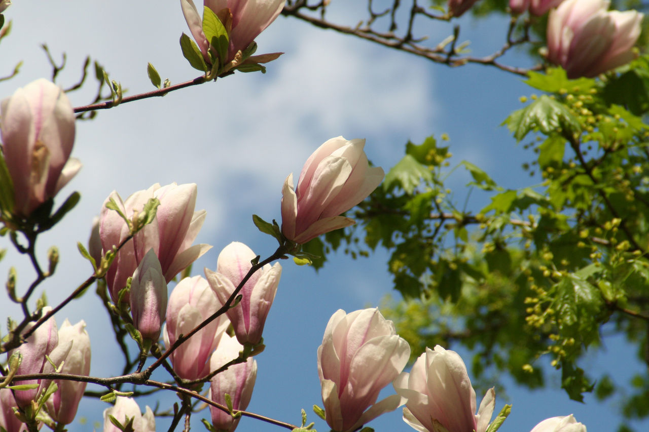 Beautiful stock photos of magnolie,  Beauty In Nature,  Bloom,  Blooming,  Blossom