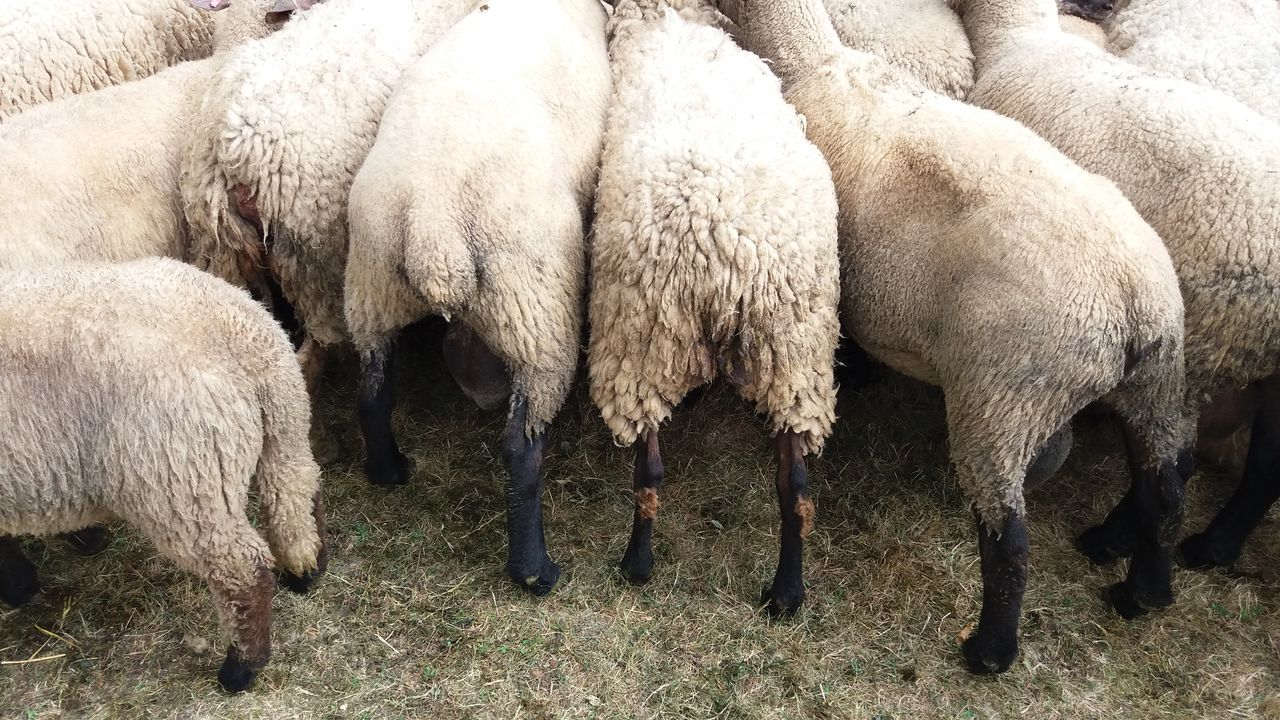 livestock, animal themes, no people, mammal, nature, grazing, sheep, day, large group of animals, outdoors, animals in the wild, domestic animals, close-up