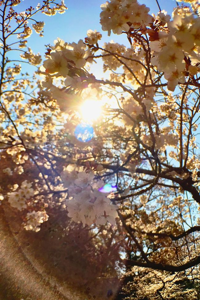 Sunlight Sakura Fukuoka,Japan Japan Spring