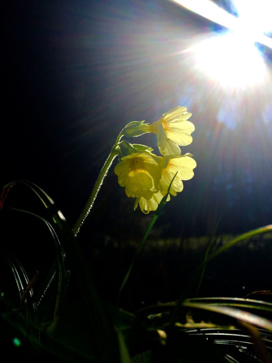 primrose Beauty In Nature Blooming Blossom Botany Close-up Day Flower Flower Head Focus On Foreground Fragility Freshness Growth In Bloom Lens Flare Nature No People Outdoors Petal Plant Primrose Schlüsselblumen Stem Sun Sunbeam Yellow