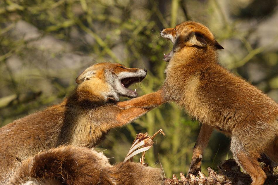 Beautiful stock photos of fuchs, Animal Behavior, Animal Themes, Animal Wildlife, Animals Attacking