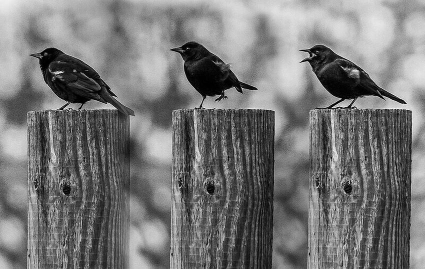 blackbird triptych Olympus OM-D EM-1 Blackandwhite Birds Triptych