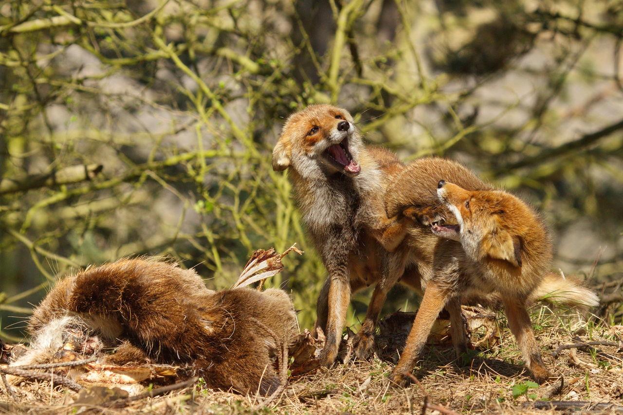 Amsterdamse Waterleidingduinen Animal Family Animal Wildlife Close-up Fighting Foxes Forrest Fox🐺 Nature Vos Vulpes Vulpes Wildlife Wildlife & Nature Wildlife And Nature Wildlife Photography