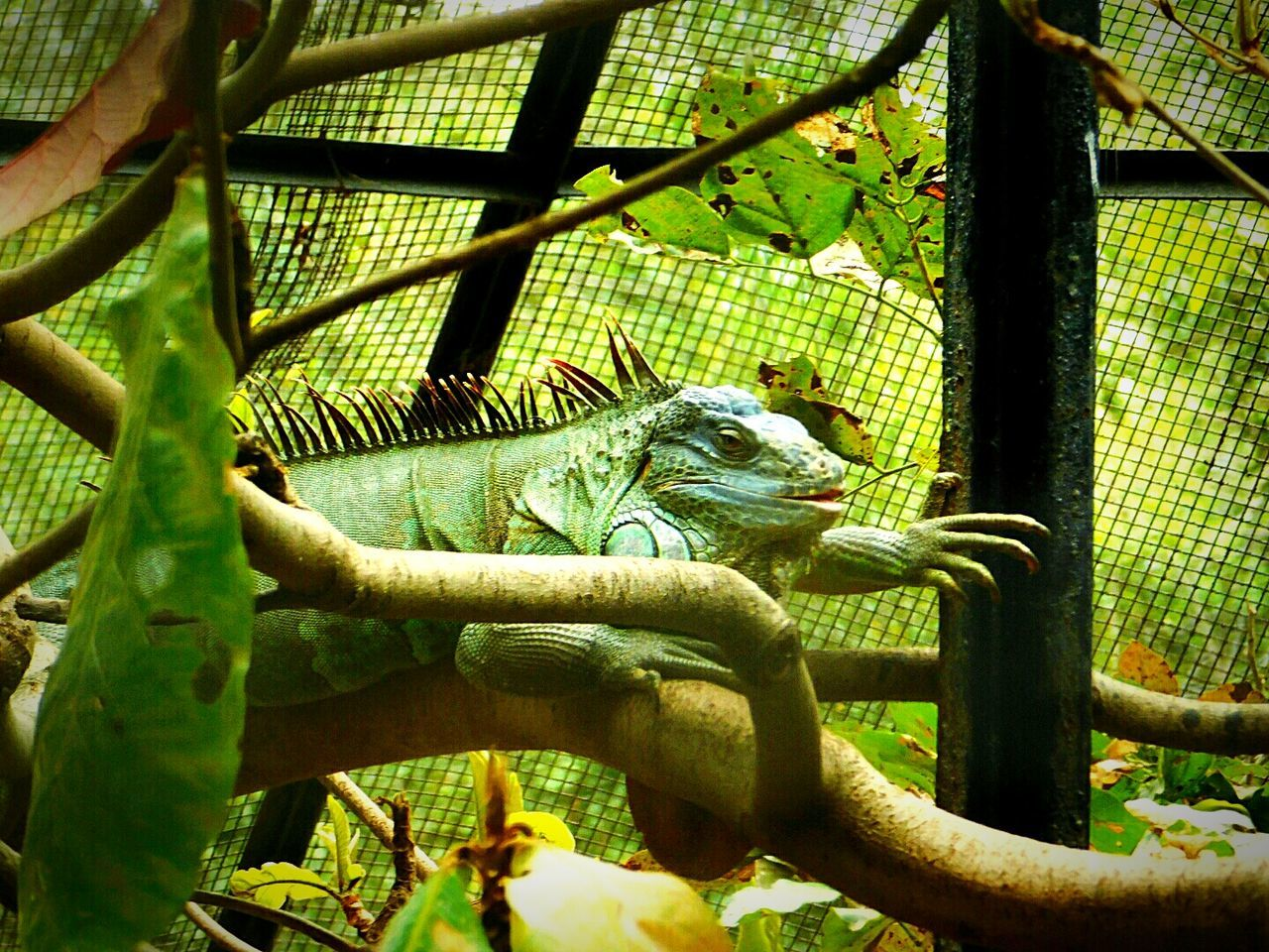 Reptile Chameleon Tree One Animal Giant Chameleon Resting Tree Nature Leaf Chameleon On A Tree Close-up Looking At Camera Alone Sadness😢 Looking For Freedom Wildlife Photography