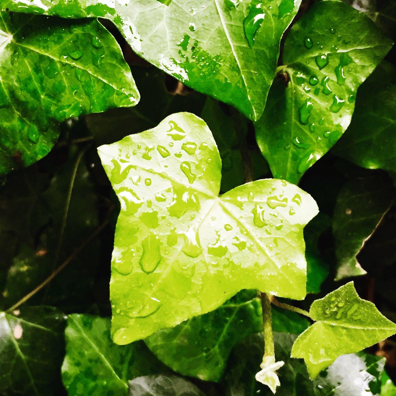 Rain Winter Ivy Green Color Nature