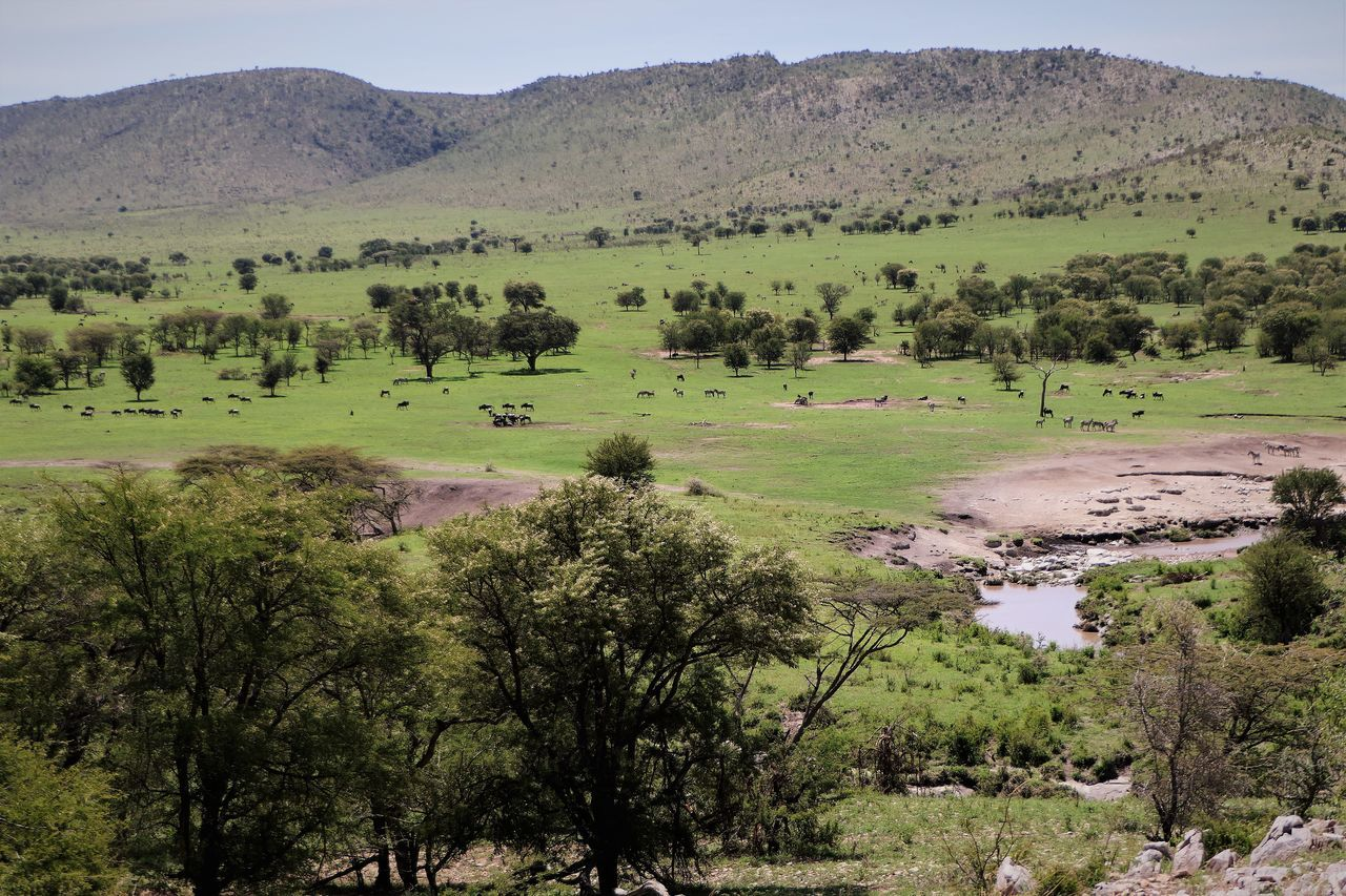 Serengeti Clear Sky Day Gnus Landscape Large Group Of Animals Nature No People Outdoors Scenics Serengeti National Park Tree Zebras