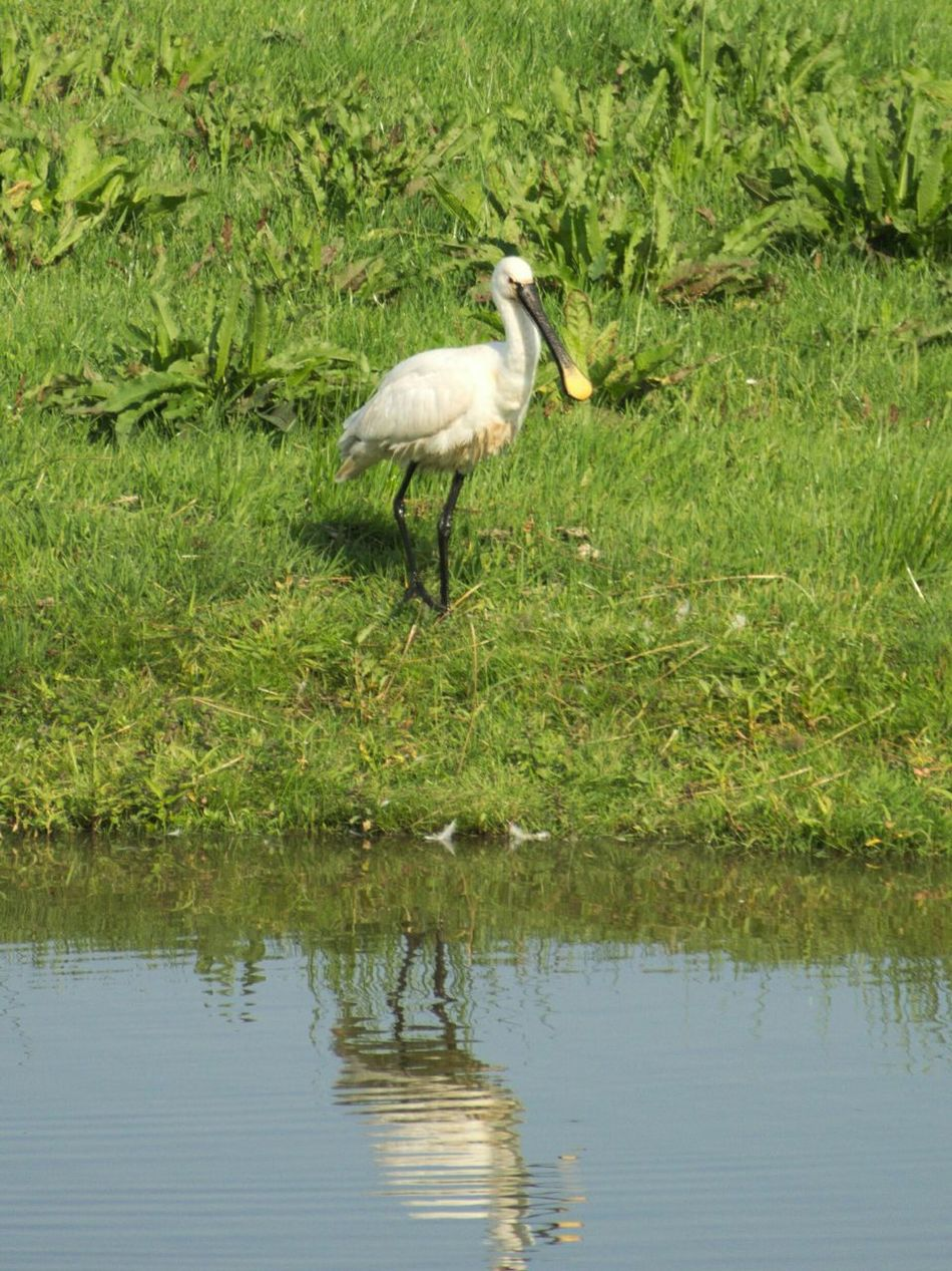 Spoonbill a not so common sight in The Netherlands I saw it in Delftse Hout and was happy to carry my Nikon D3200 Nyarnon Birds