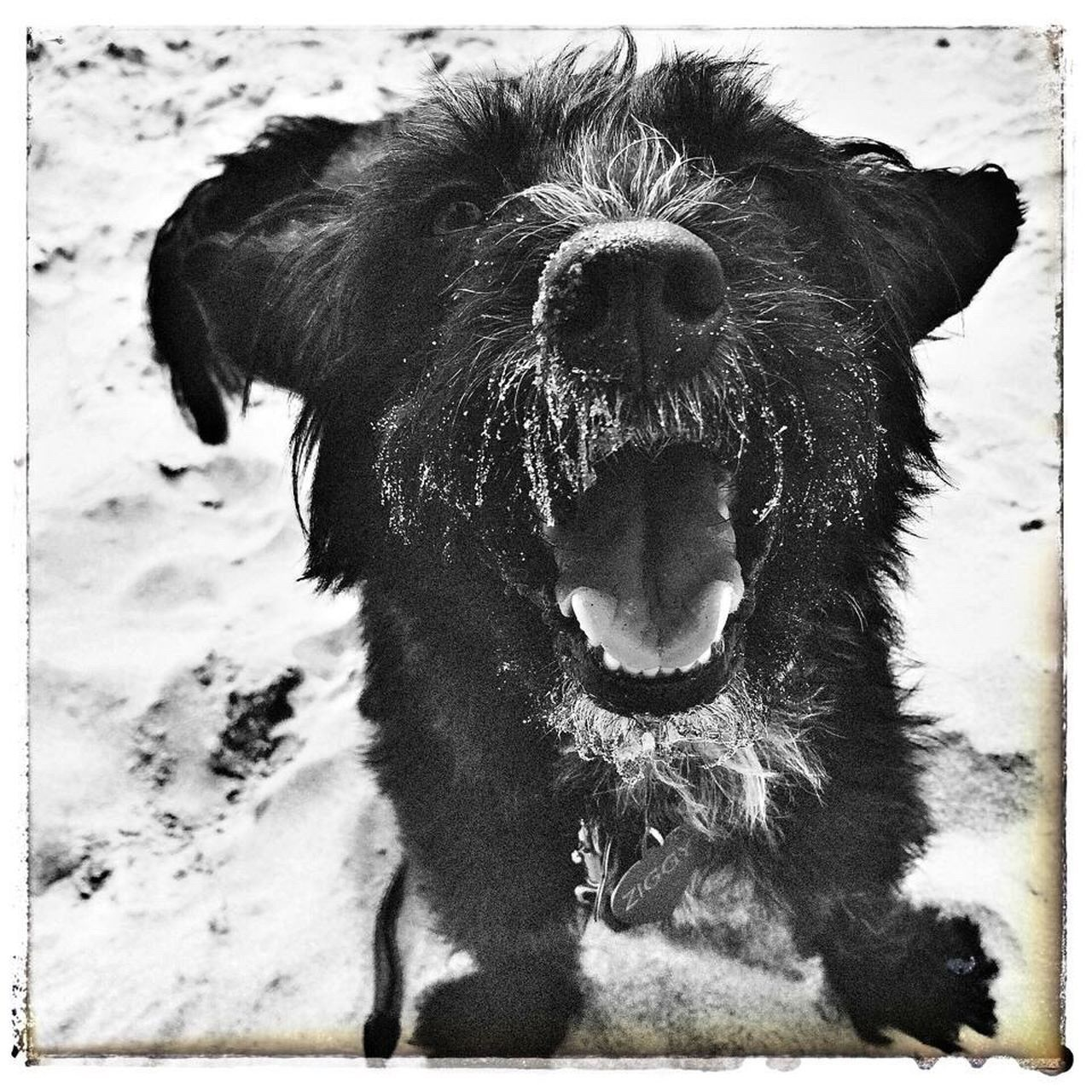 Ziggybraveheart. Dog Dog Love Blackandwhite Photography Blackandwhite Black Dog Ziggy Pet Photography  Pet Dog Life Dog On Beach Happy Dog