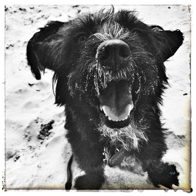 Ziggybraveheart. Dog Dog Love Blackandwhite Photography Blackandwhite Black Dog Ziggy Pet Photography  Pet Dog Life Dog On Beach Happy Dog