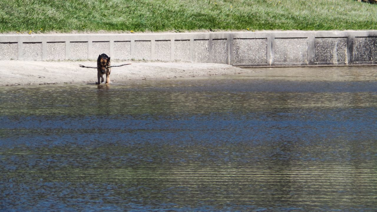Dogslife Stick Swimming With The Fish On The Lake German Shepherd Playing In The Water A Dogs Life A Dogs Work Is Never Done A Dogs Tail A Dogs Perspective Fundaysunday Funday Sunshine