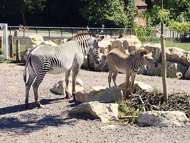 Zebra Marwell zoo. Zoo Foal Marwell Zoo