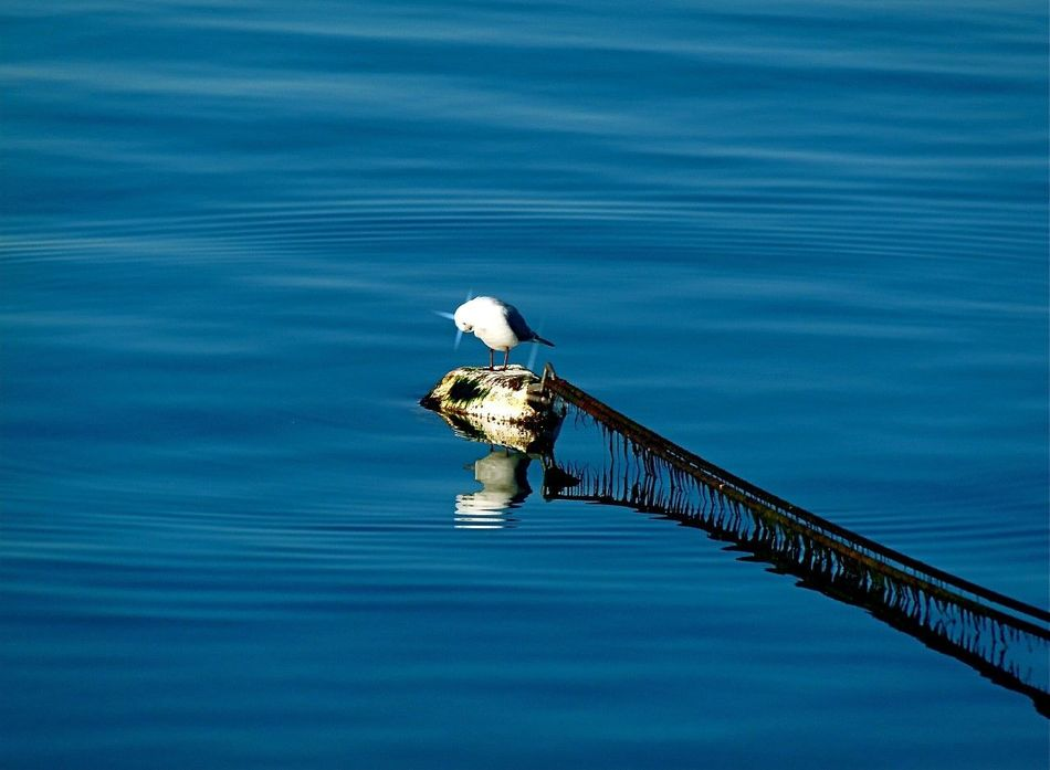 Beauty In Nature Bird Blue Calm Check This Out Gull Light And Shadow Nature Reflection Relax Relaxing Roap Sea Seagull Sun Water Waves