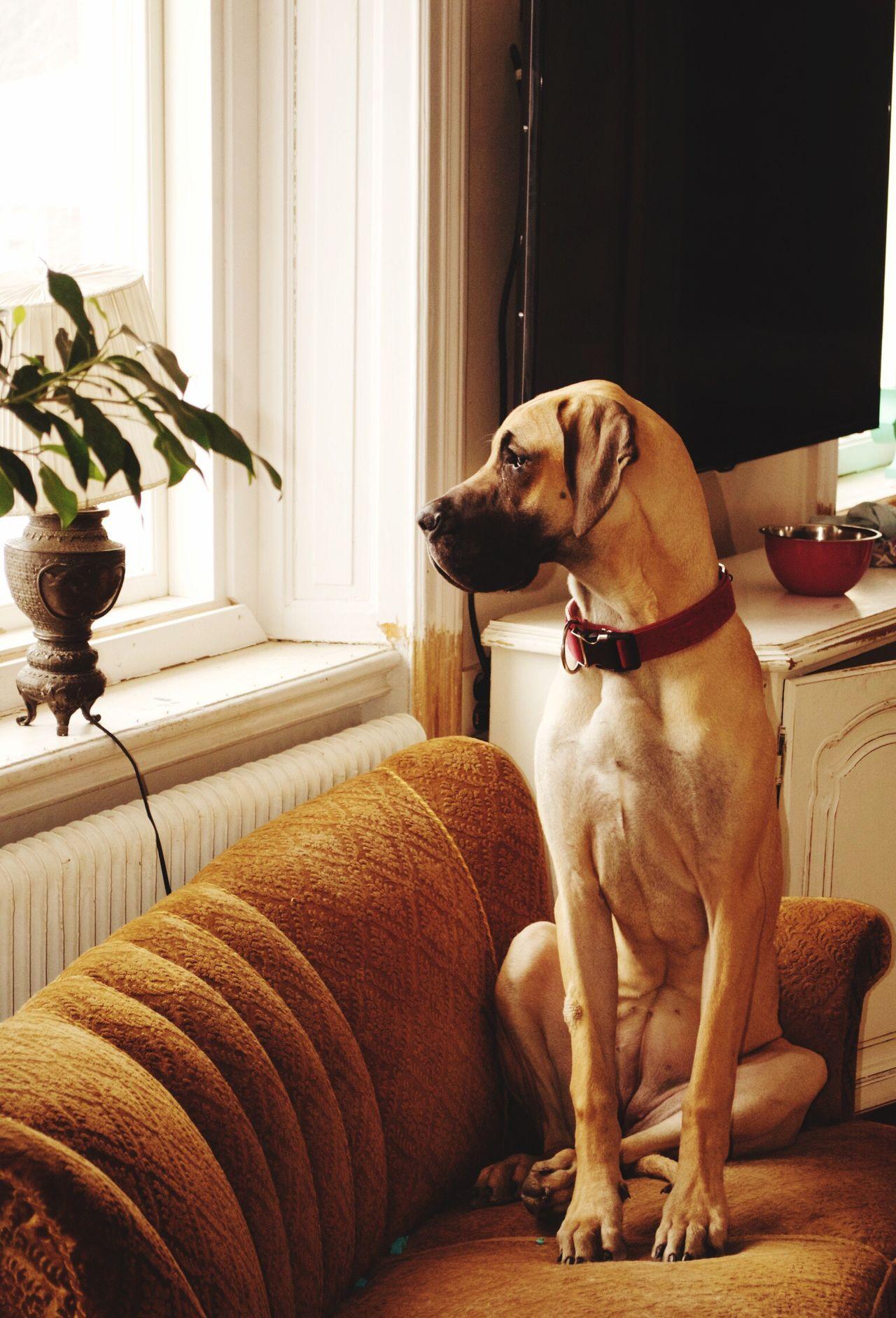 Beautiful stock photos of great dane,  Animal Themes,  Canine,  Carnivora,  Day