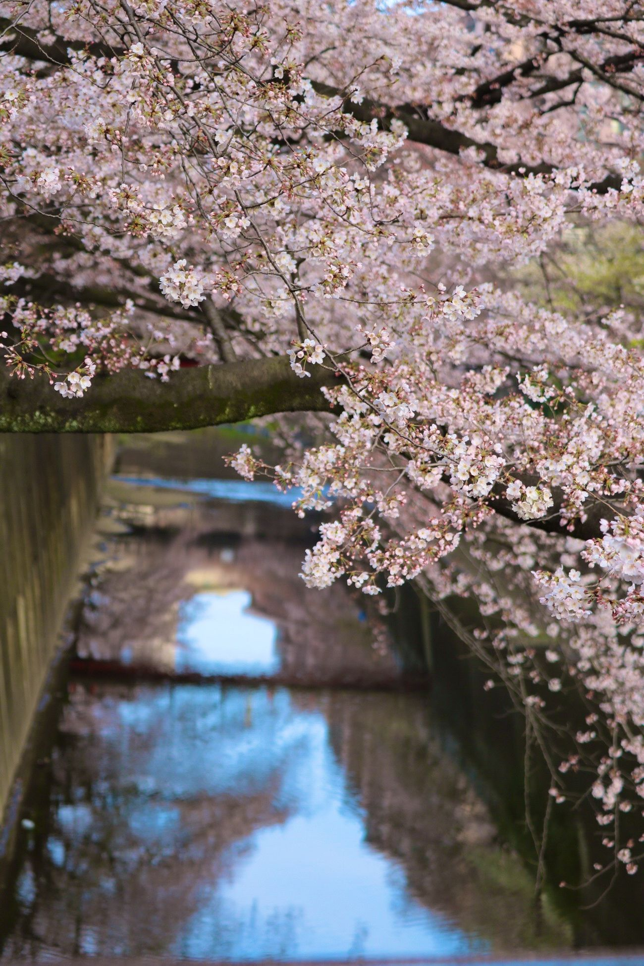 Flower Free Open Edit 満開 OpenEdit Canon Open Edit For Everyone サクラ 桜 Tokyo 開花 Open Canonphotography 春ですね