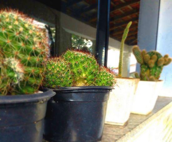 Jehovahscreation Garden Cactus Cactos Cactus Garden Cactus