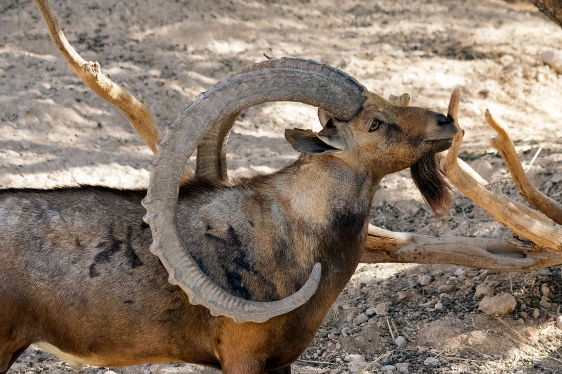 Animal Themes Animals In The Wild Arabian Goat Day Mammal Nature Outdoors