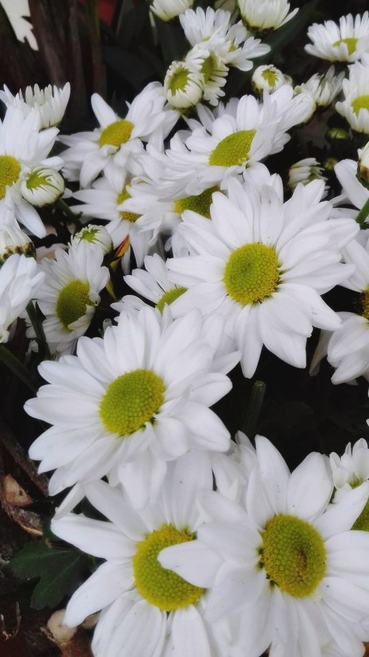 flower, fragility, petal, nature, growth, beauty in nature, freshness, white color, flower head, plant, blooming, no people, close-up, outdoors, day