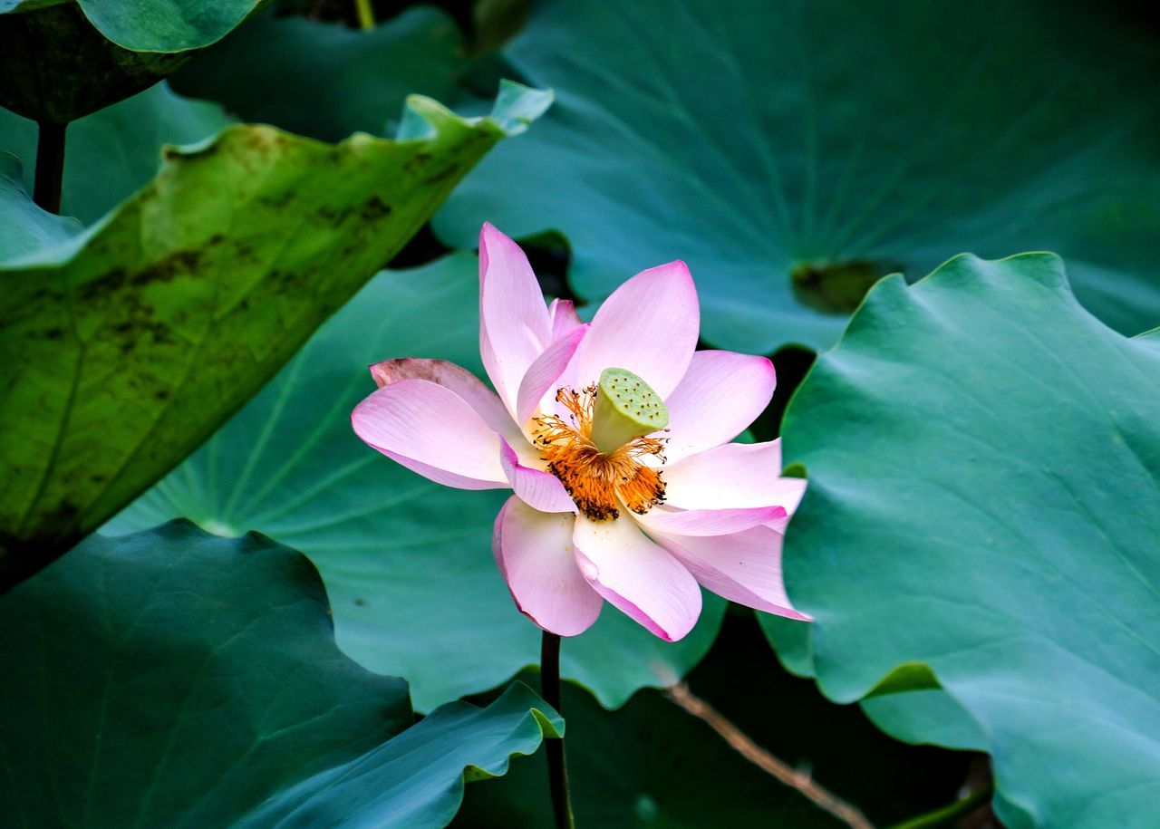 leaf, petal, one animal, growth, insect, nature, plant, animal themes, beauty in nature, flower, animals in the wild, flower head, freshness, day, no people, green color, outdoors, fragility, pink color, close-up, bee, animal wildlife, lotus water lily