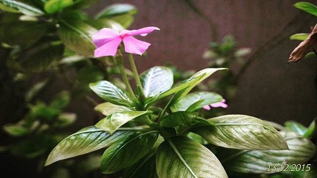 Flower Plant Periwinkle Rosy Macroshot Wideshot 51megapixel Details Colours Purple Leaves Nature Green Balcony ZenfoneSelfie Zenfone2 Asus