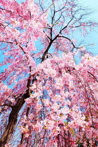 Japan OSAKA Sakura Flower Flowers Hanami Cherry Blossom Cherry Blossoms Travel