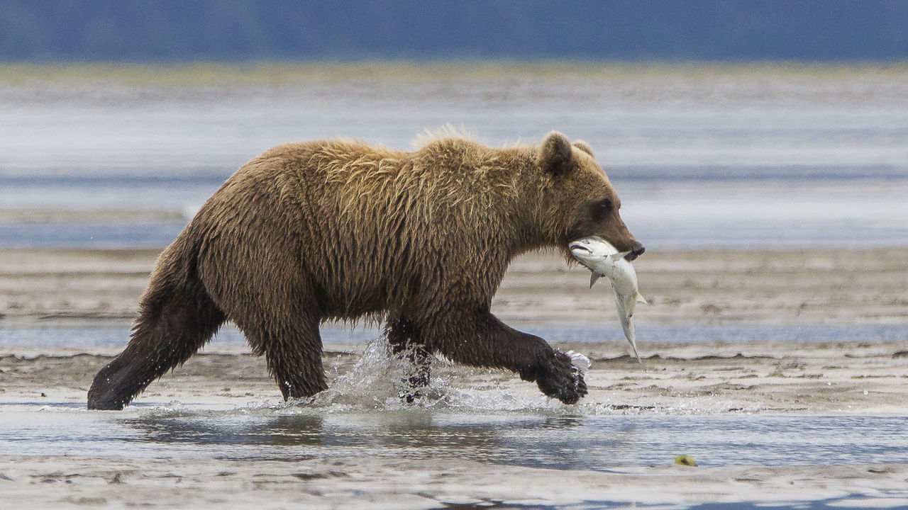 Hunting bear Animal Themes Animal Wildlife Animals In The Wild Bear Day Grizzly Bear Hunting Mammal Nature No People One Animal Outdoors Salmon Sea Water Wet