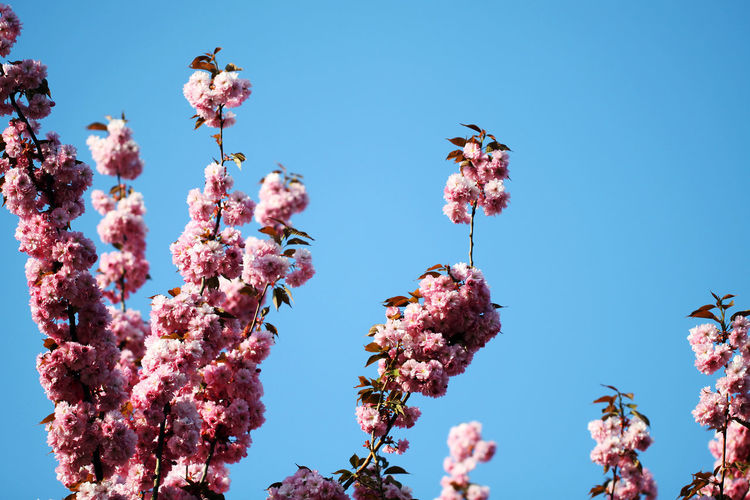 Cherry blossom #2 Beauty In Nature Blossom Blue Blue Sky Branch Cherry Cherry Blossom Cherry Blossoms Clear Sky Day Flower Nature No People Outdoors Pink Color Sky Sky And Branches Spring Spring 2017 Spring Has Arrived Springtime The Week On EyeEm Tree