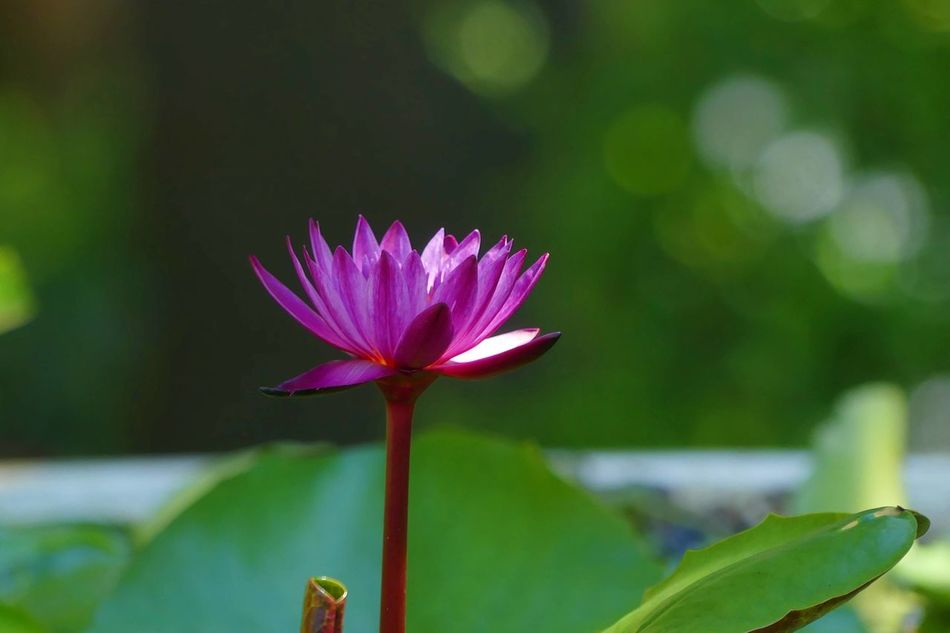 Purple Lotus Beauty In Nature Blooming Close-up Day Flower Flower Head Fragility Freshness Growth Leaf Lotus Lotus Flower Lotus Temple Lotus Water Lily Lotus♥ Nature No People Outdoors Petal Pink Color Plant Purple Flower Purple Lotus Purple Lotus Flower Water