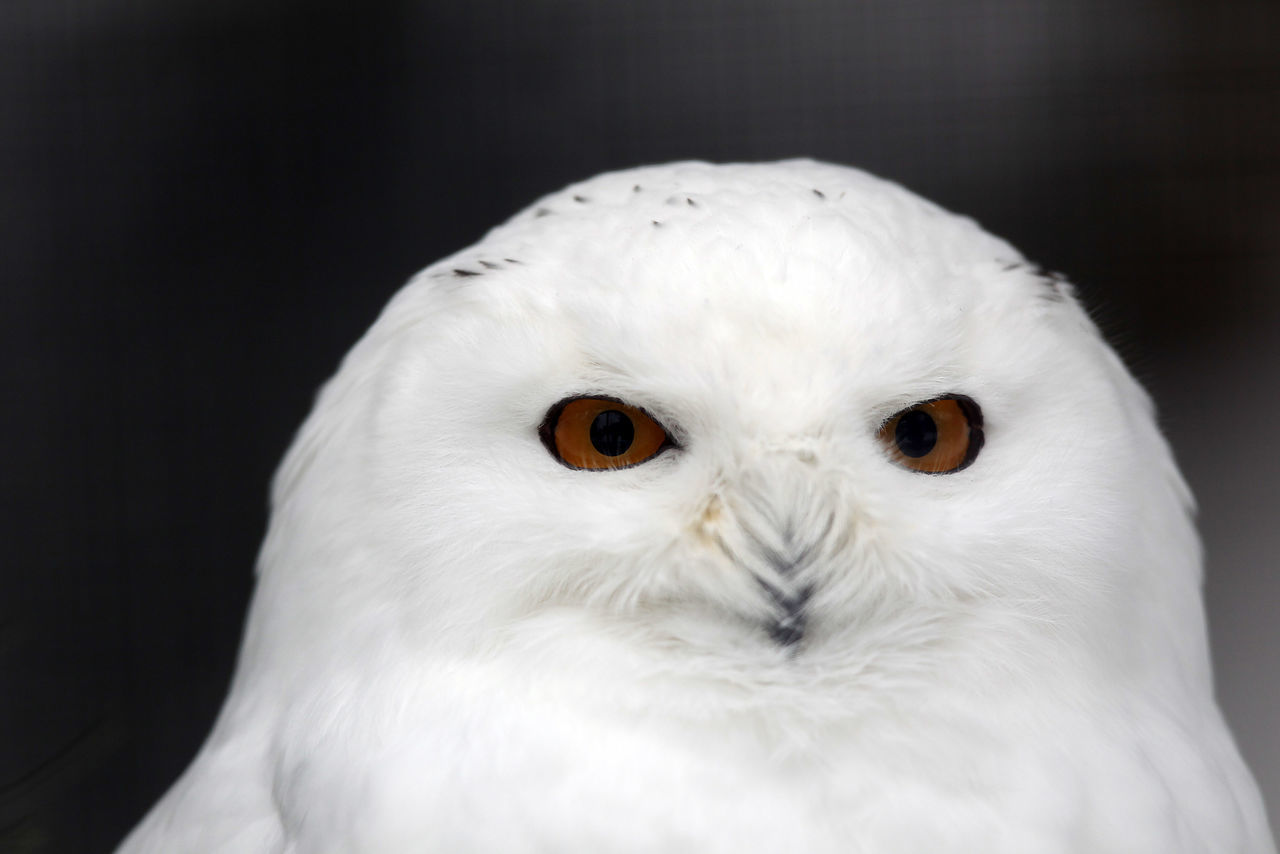 Schnee-Eule Animal Animal Eye Animal Head  Animal Photography Animal Themes Animal Wildlife Animal_collection Animals Animals In The Wild Bird Birds Birds_collection Black Background Bubo Scandiacus Close-up Day No People One Animal Owl Owls Schnee-Eule Snowy Owl White Color