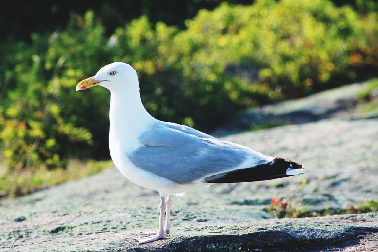 Nature Maine Seagull Bird