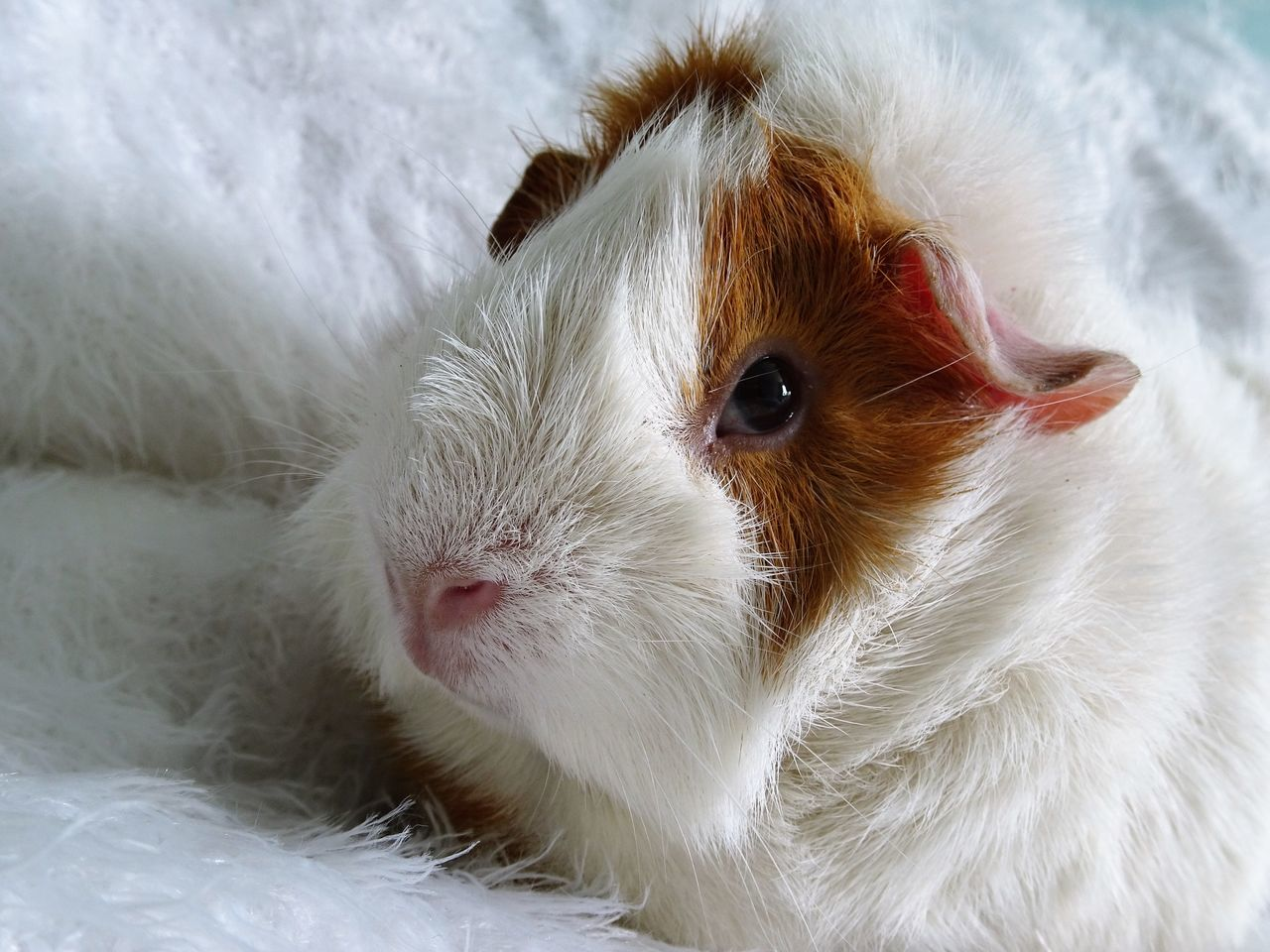 Beautiful stock photos of guinea-pigs, Rodent, animal Eye, animal Hair, animal Nose