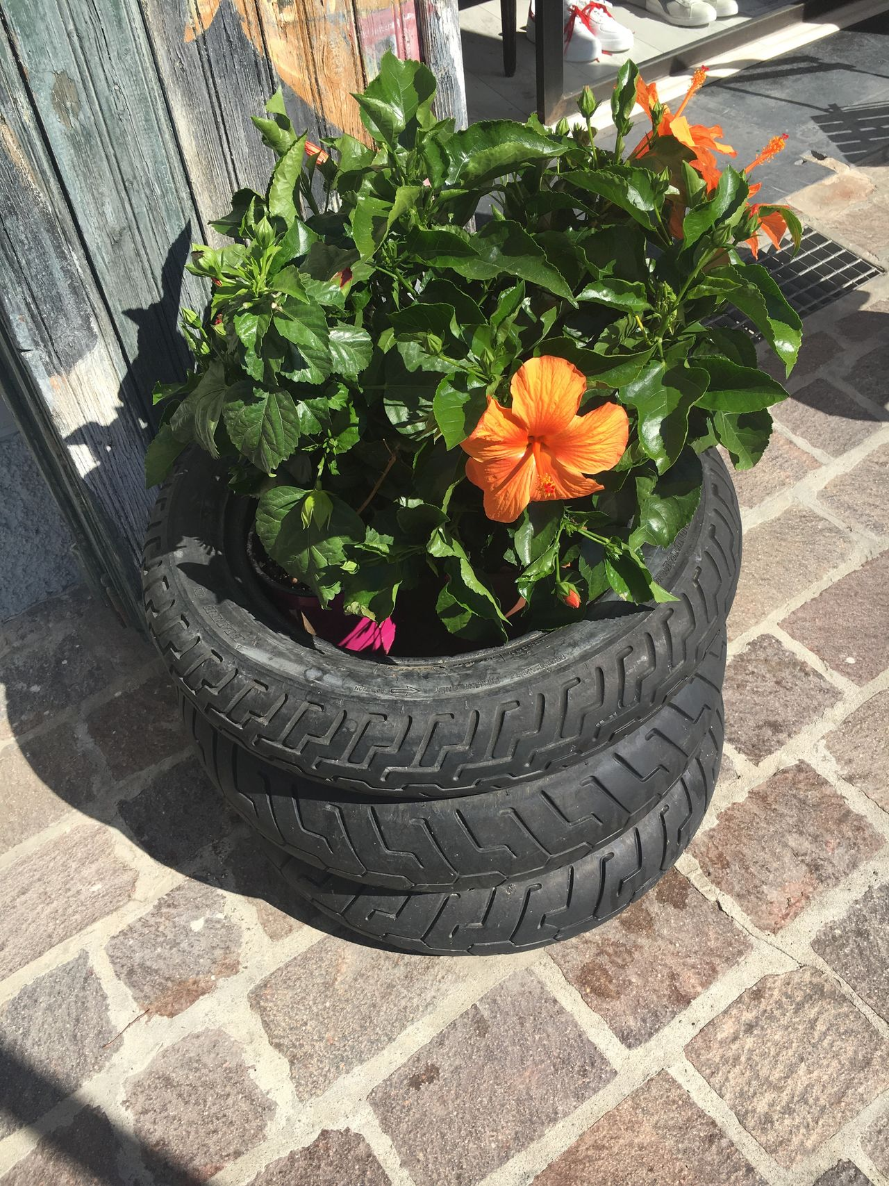 Plant Orange Orange Petals Ibiscus Tyre Flowerpot Tyre Flowerpot Color Of Life