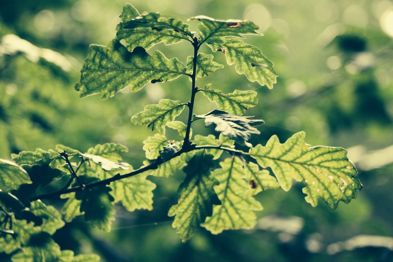 Close-up of oak leaf