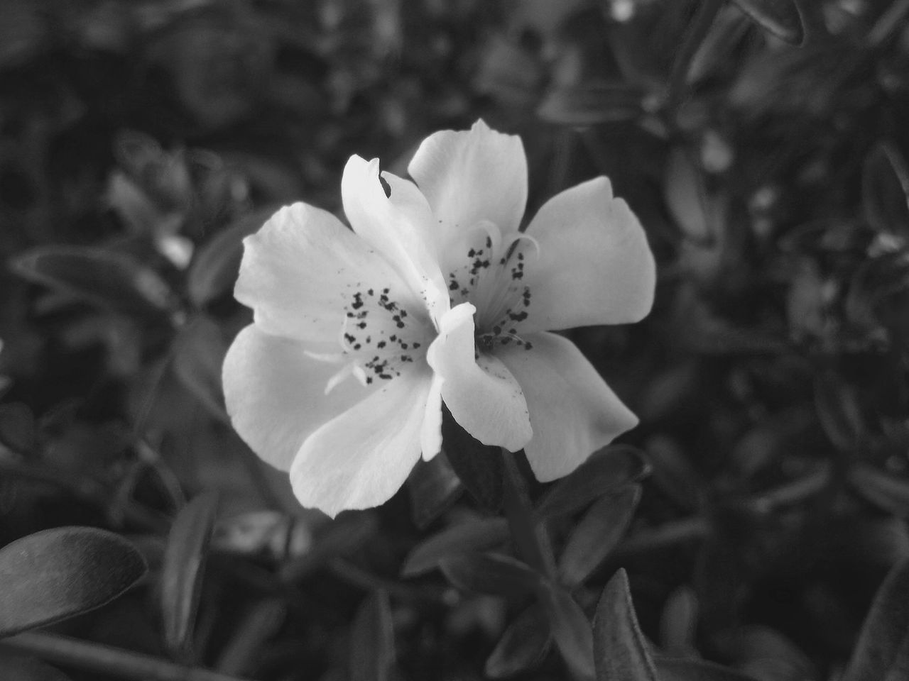 Blackandwhite Monochrome Flower Head Beauty In Nature Flower Close-up Nature Outdoors Shootermag Walkside Taking Photos Still Life Check This Out From My Point Of View Walking Around Fine Art Photography Mobilephotography Beauty In Nature Duet