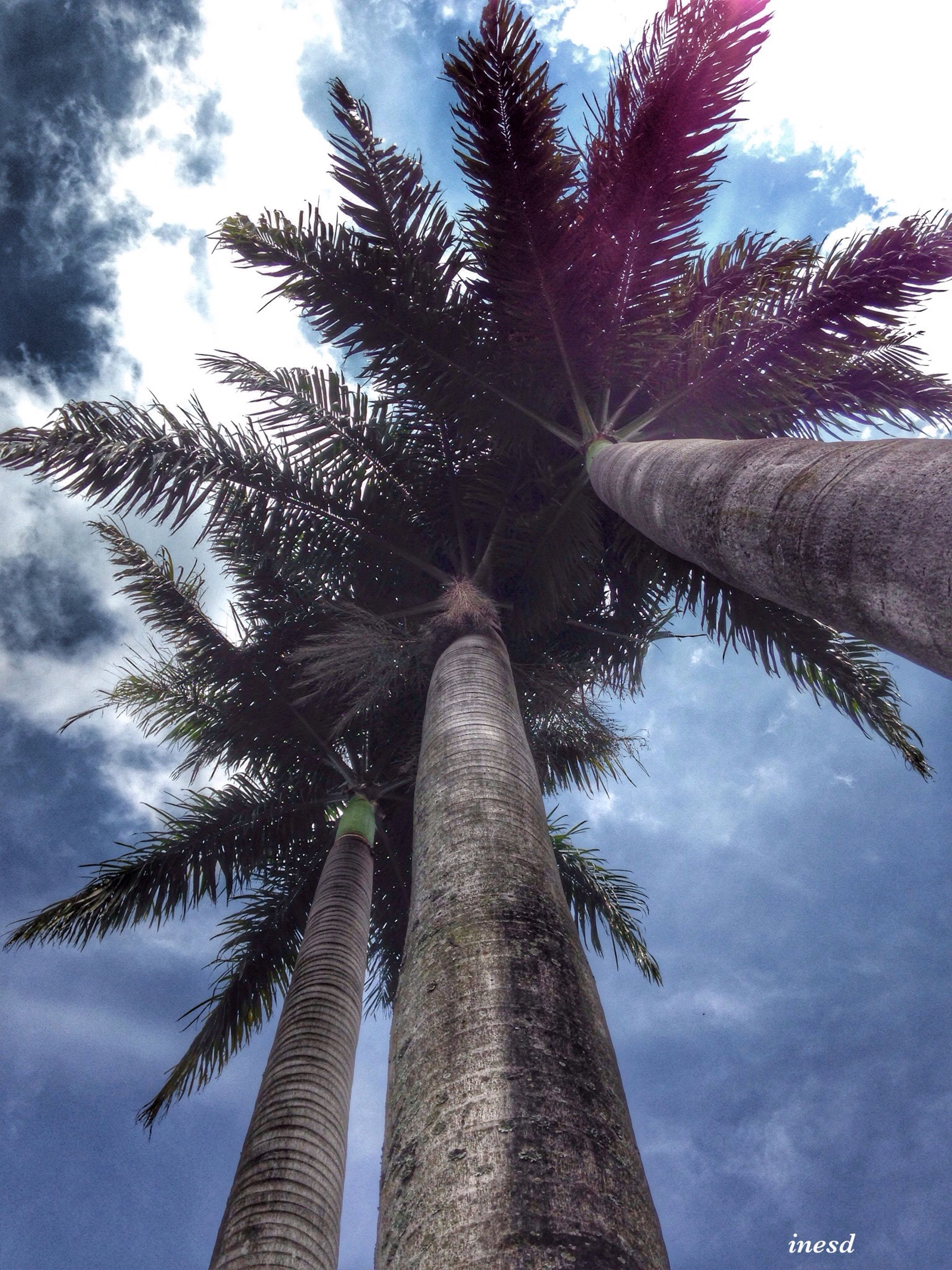 low angle view, palm tree, sky, tree, cloud - sky, growth, tree trunk, tall - high, nature, cloud, cloudy, tranquility, day, branch, beauty in nature, no people, outdoors, tall, built structure, sunlight