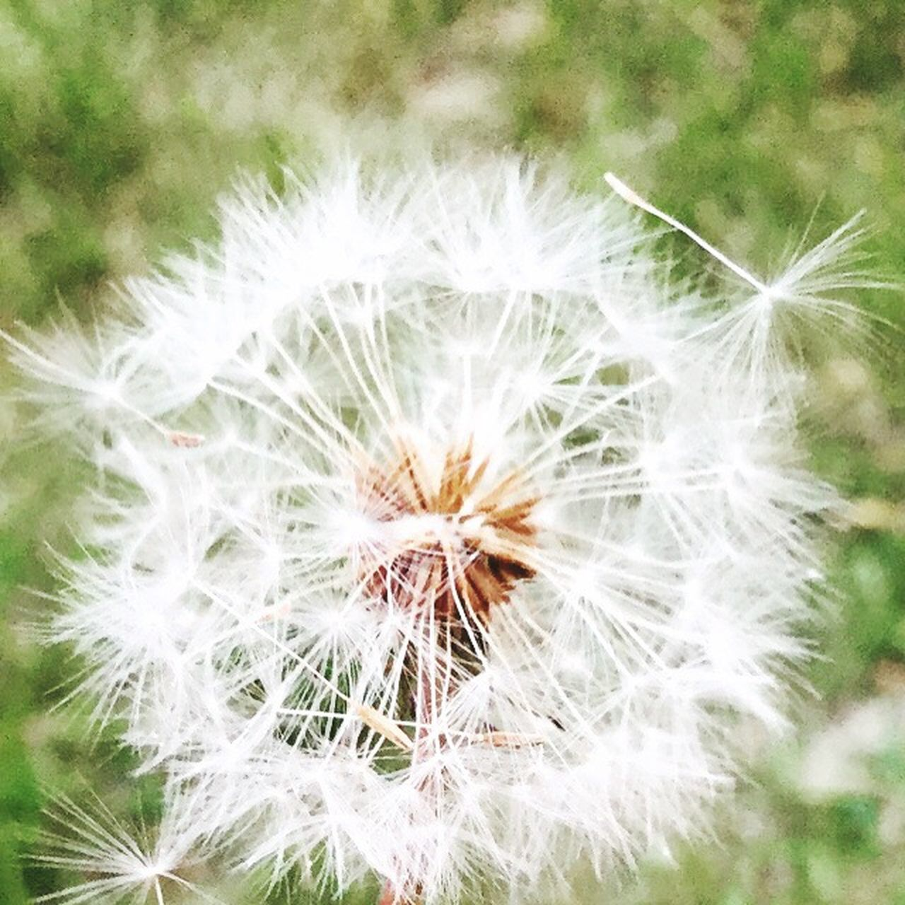 dandelion, flower, nature, fragility, growth, flower head, freshness, uncultivated, wildflower, beauty in nature, close-up, plant, seed, focus on foreground, white color, outdoors, no people, day