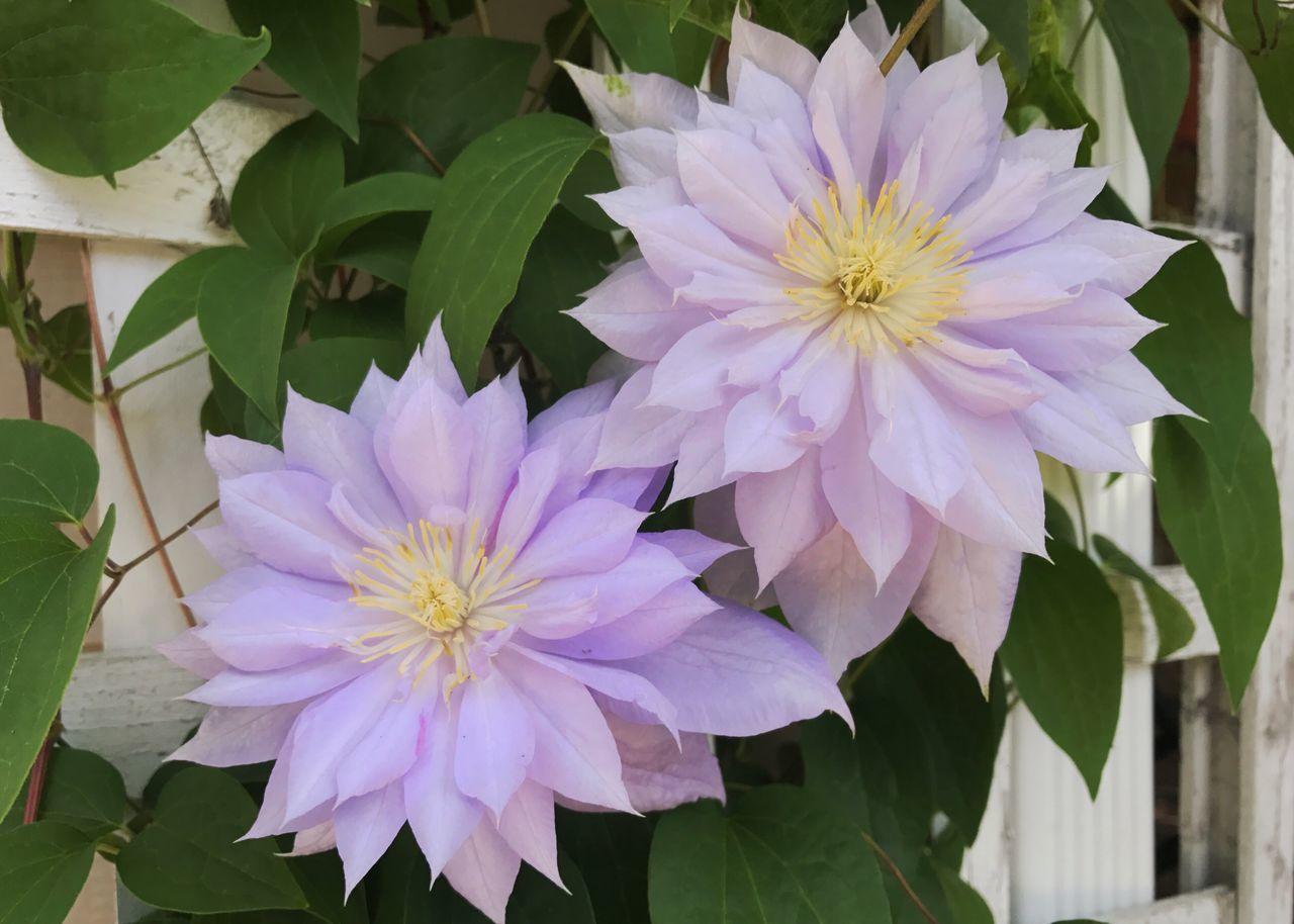 Purple clematis blooming. Clematis Clematis Flower Flower Petal Purple Flower Beauty In Nature Blooming Flower Head Growth Plant No People Outdoors