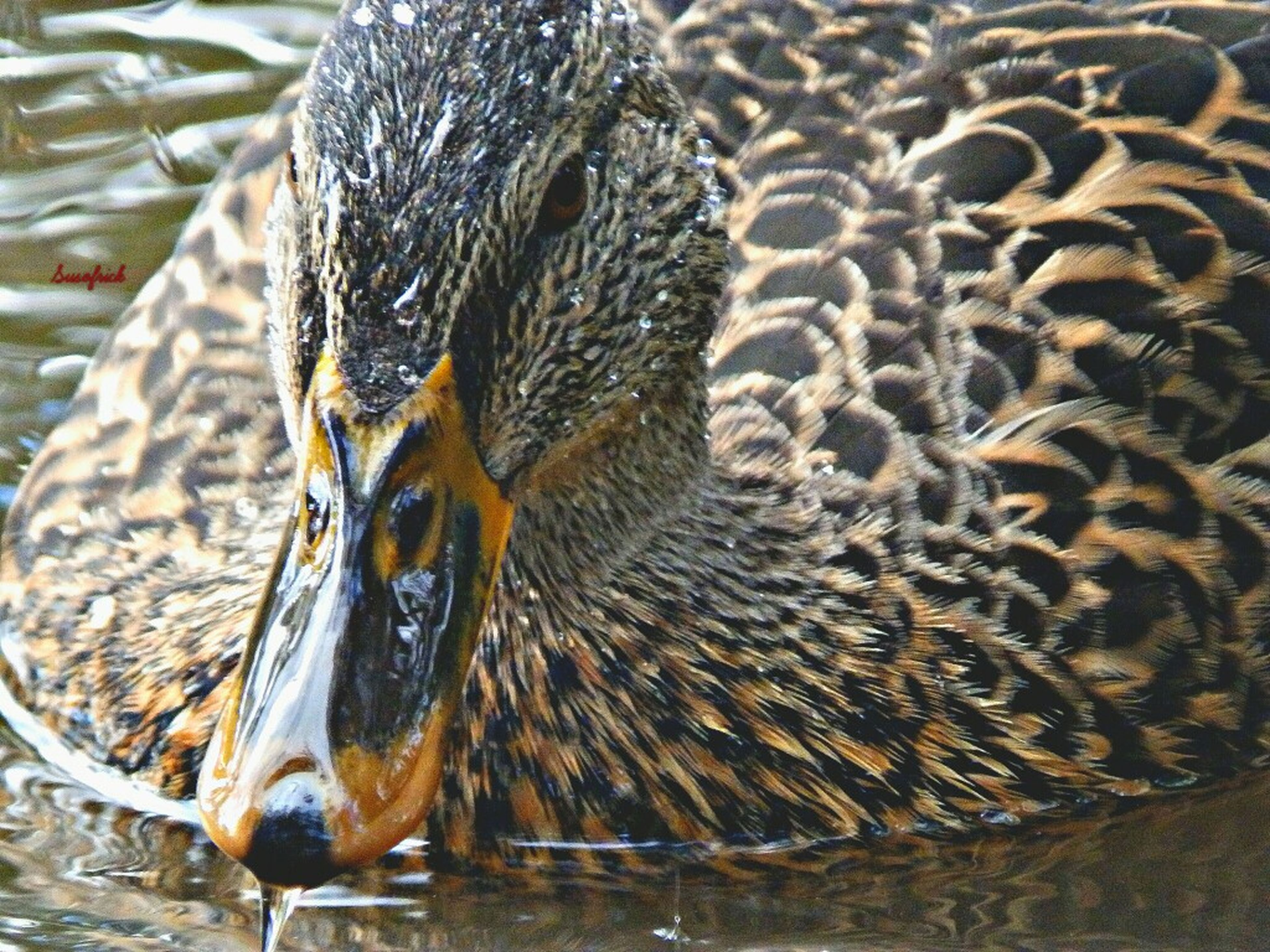 animal themes, animals in the wild, wildlife, one animal, bird, water, close-up, animal markings, nature, swimming, side view, zoology, focus on foreground, beak, animals in captivity, animal head, duck, outdoors, no people, day