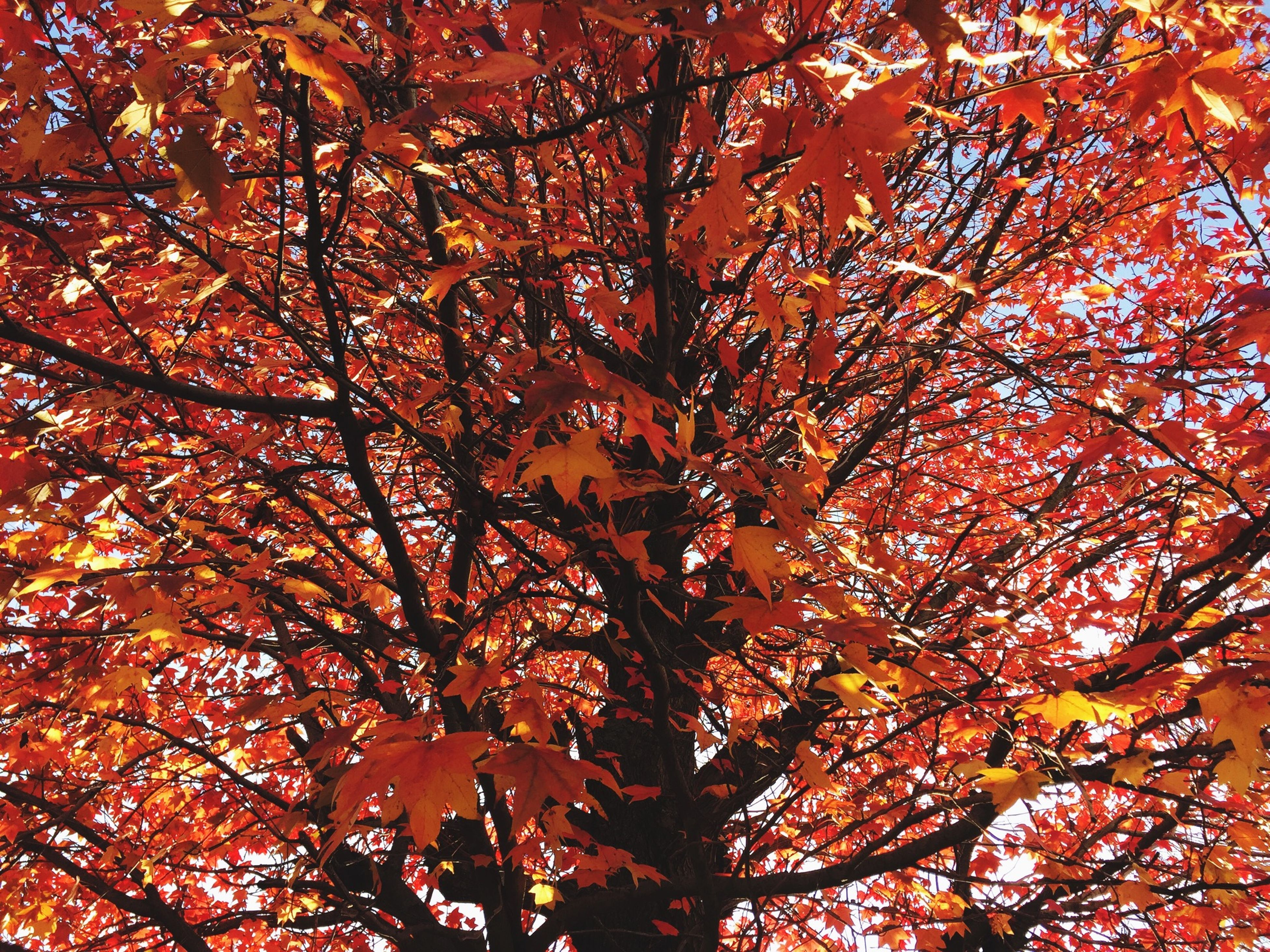 tree, autumn, branch, low angle view, change, season, growth, full frame, nature, leaf, beauty in nature, backgrounds, tranquility, orange color, day, outdoors, no people, red, scenics, sky