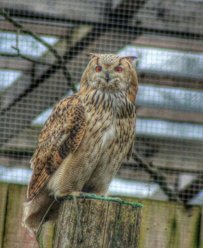 Owl Oehoe Lovelynatureshots ThingsWithWings  Bns_nature Bird Photography Telephoto Closeup EyeEm Nature Lover
