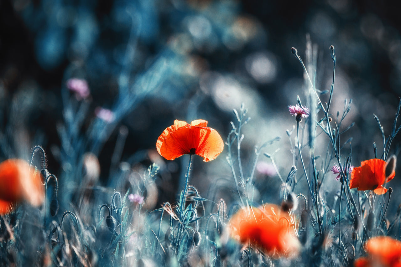 Poppies Beauty In Nature Blooming Close-up Day EyeEm Nature Lover EyeEmNewHere Field Flower Flower Head Fragility Freshness Growth Mohnblume Nature No People Outdoors Petal Plant Poppies  Poppy Poppy Flowers Red