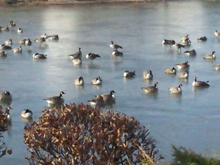 Canadian geese sleeping on frozen lake Canadian Geese Geese EyeEm Nature Lover Nature Color Geese Photography Geese Gathering Geese At The Lake Lake Frozen Frozen Lake Editorial  Color Photography Colorful Colors Fall Autumn Nature_collection Nature Photography Naturelovers Animals Outdoors Geese In Water