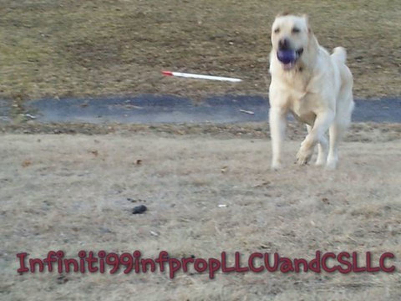 dog, pets, beach, running, one animal, motion, outdoors, sand, domestic animals, day, no people, animal themes, nature, mammal