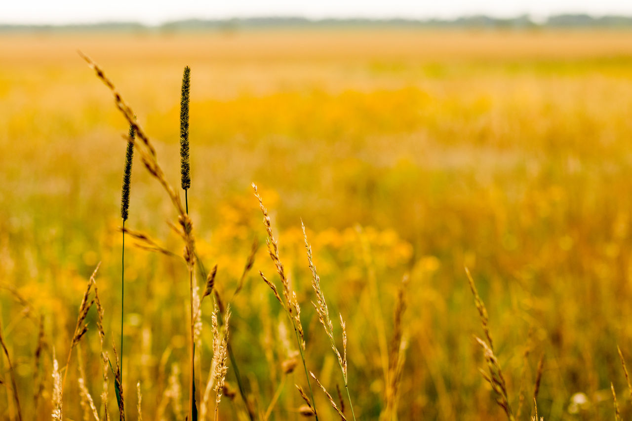 Agriculture Beauty In Nature Cereal Plant Close-up Crop  Day Ear Of Wheat Farm Field Focus On Foreground Freshness Grass Green Color Growth Landscape Nature No People Outdoors Plant Rural Scene Scenics Sky Tranquil Scene Tranquility Wheat