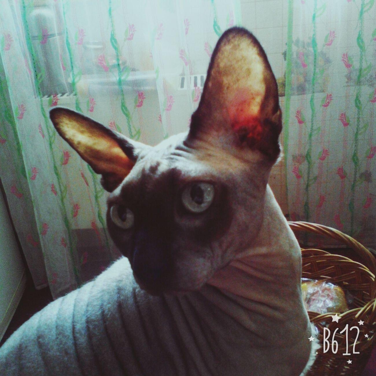 Cat Meow Animal Eyeemcat EyeEmCatlovers